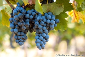 Bunch of blue grapes