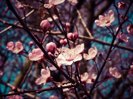 almond-blossom-1229138_960_720