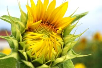 Sonnenblume_DRUCK