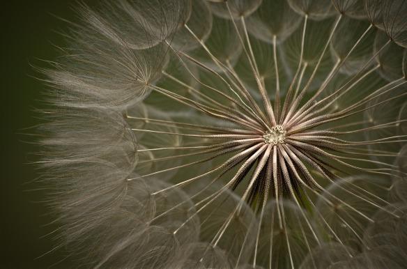 dandelion-2997724_1920