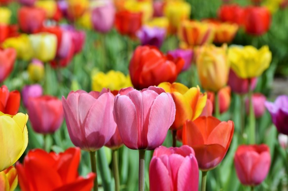 tulips-3321559_1920