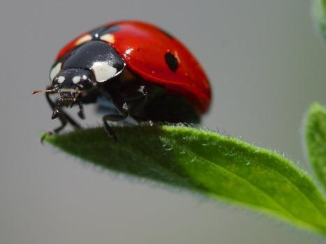 ladybug-3558_640