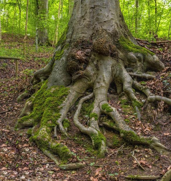 Baum Wurzeln