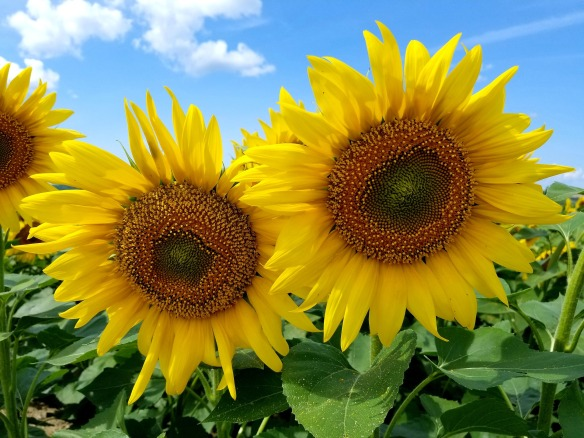 2 sunflowers-3601789_1920