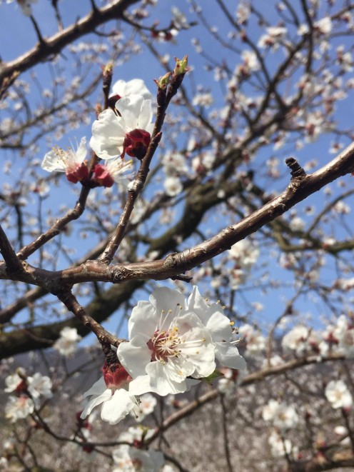 Marillenblüte Auferstehung Hoffnung_Kreiner-Hofinger